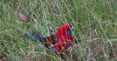 crimson rosella eating grasses