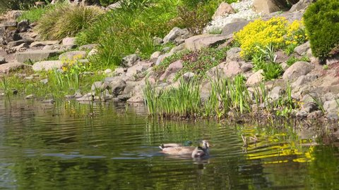 Ducks swim in pond, designed by garden architect and dendrologist L.A. Springer.  Botanical Garden De Dreijen, Wageningen, The Netherlands - MAY 2018