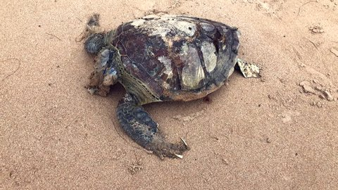 Body of a dead sea turtle with a piece of sharp plastic lodged in its neck on the shore of a remote Brazilian beach