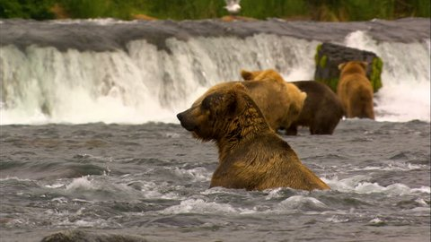 Grizzly group brown grizzly bears river fishing at Brooks Falls for food remote wilderness Katmai National Park and Reserve Alaska USA
