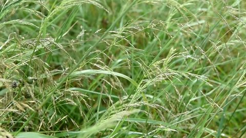 Beautiful Tender Needle Feather Grass Shaking and Swaying in Blowing Wind. Sparkling Water Drops on Leaves. Meadow Field  After Rain. Soft Lighting. Tranquility Zen Meditation Environment Concept