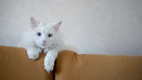 White Angora cat with multi-colored eyes is lying on the couch. Second plan
