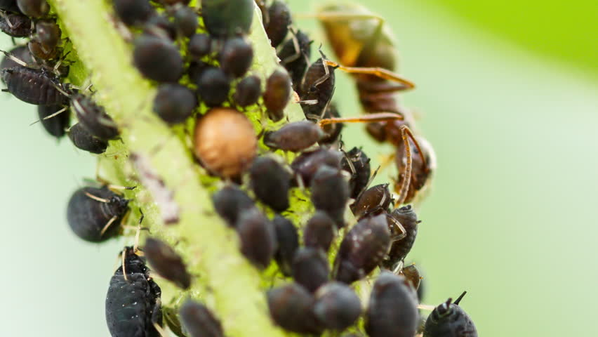 Farmer ant eating honeydew of aphids. Extreme macro of mutualistic relationship between different insects. Ants shepherd the plant-louses, take care of the flock and receive abundant feed in return