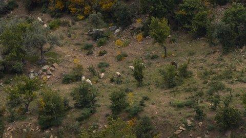 Sheep in a small farm