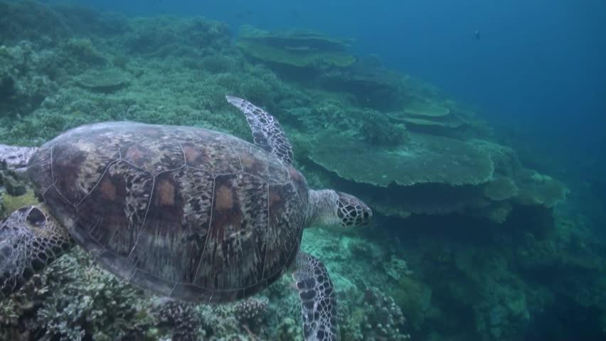 Green Tutle (Chelonia mydas) coming back from surface - Sipadan Island - Malaysia  #1010369012