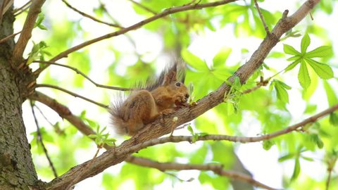 Cute brown squirrel sits on branch of tree and eats walnut on spring sunny day outside.