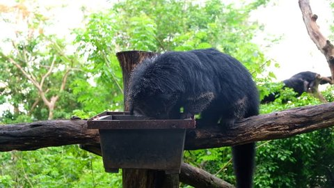 binturong Eating food.footage