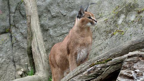 Desert cats Caracal or African lynx with long tufted ears on rock.