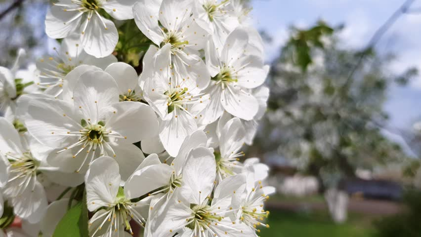 Blossoming spring fruit tree, branches against the blue sky, fresh spring background | Shutterstock HD Video #1010485202
