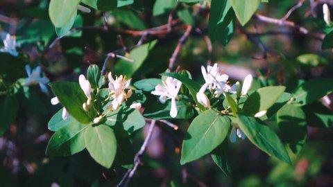 Jasmine flowers - beautiful jasmin flowers in bloom.
