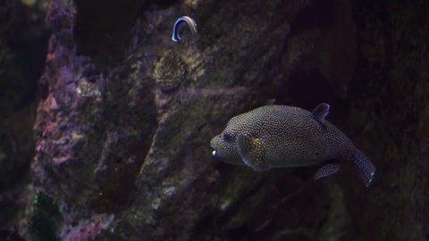 Blowfish or Pufferfish Underwater Swimming in a Coral Reef on aquarium. 4K Video Clip