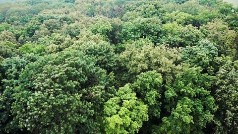 Trees sway in wind, green forest in rainy windy weather, view from above