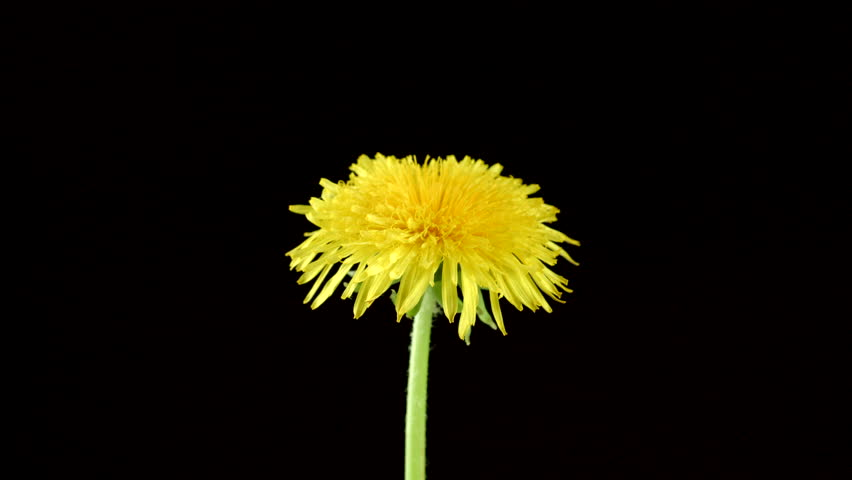 Nature background of tropical · Dandelion flower open time lapse, extreme  closeup over black background. Macro one yellow dandelion ...