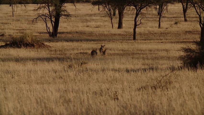 warthogs running in africa