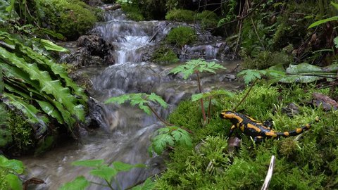 Yellow spotted Fire salamander (Salamandra salamandra) in the forest, Mühlebach,  nature reserve on the Swabian alb close to Bad Urach,Germany, in its natural environment