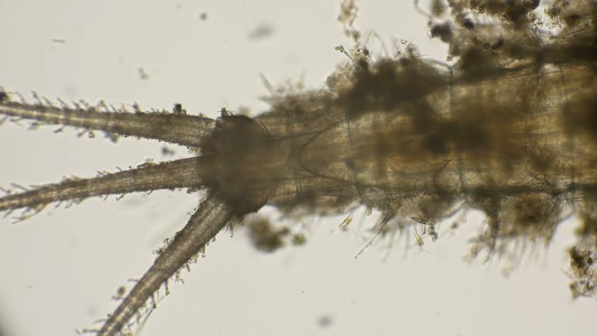 Header of Ephemeroptera