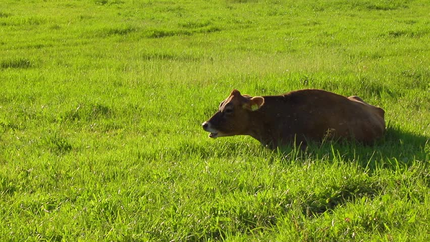 Brown cow lies chewing in the green grass