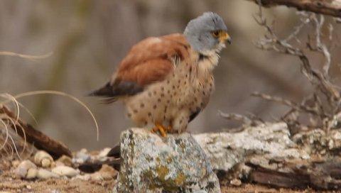 Lesser kestrel. Falco naumanni