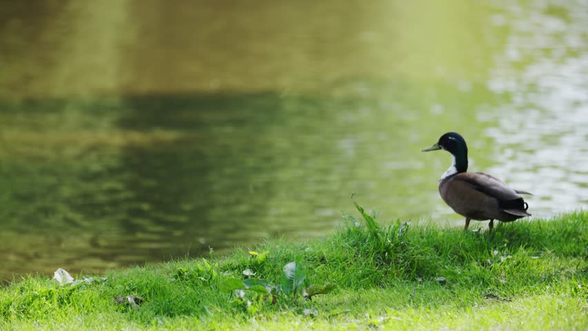 Duck on the side of a lake walking / sitting looking for food. Sunny day. 4K UHD footage