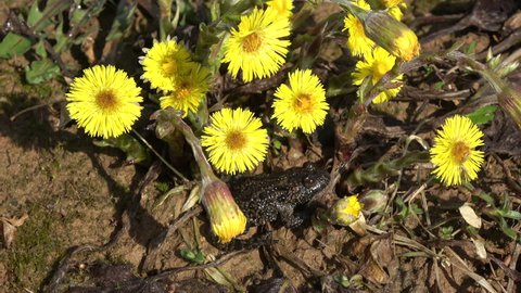 European fire-bellied toad Bombina bombina in spring near blossoming coltsfoot and wind