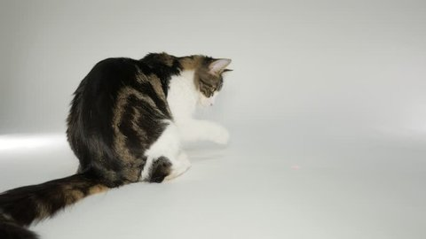 Maine Coon Cat playing with laser pointer