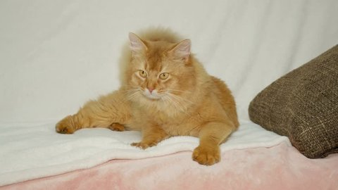 Somali Cat relaxing on the sofa