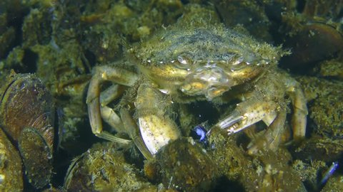Nutrition of Green crab or Shore crab (Carcinus maenas): crayfish takes meat from the mussel shell and puts it in its mouth.