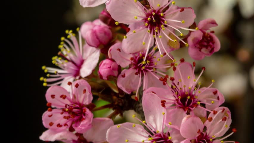 4k macro dolly timelapse of a wild plum fruit flower growing, blooming and blossoming on a dark background/Wild plum flower blossom time lapse