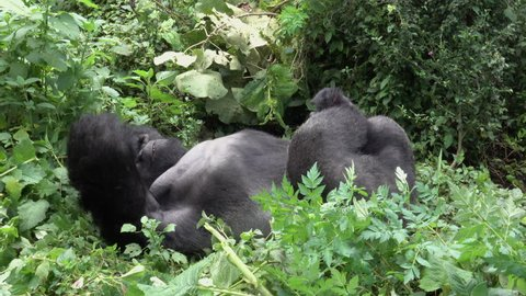 Mountain Gorilla, strong Silverback, Virunga Moutain, Democratic Republic of Congo, Africa