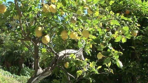 Lemon tree with organic ripe lemons in lush green garden.