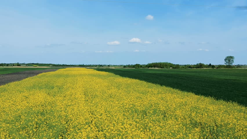 Canola field on a sunny day. Drone flight over canola and wheat field. Rapeseed (Brassica napus) Oil Seed Rape. Field Of Yellow Flowering Oilseed Rape. Blooming Canola Field.