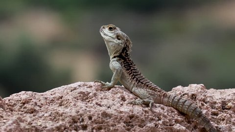 starred agama, Stellagama stellio within a cyprus garden standing alert and finding prey.