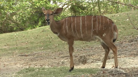 Nyala Female Adult Lone Standing Chewing Ruminating Cud