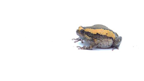 Banded bullfrog or Asian narrowmouth toads on white background. It also know chubby or bubble frog. This frog is native to Southeast Asia, and usually lives on the forest floor and in rice fields