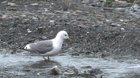 Mew Gull Adult Foraging Digging in Summer Aquatic Invertebrates in Alaska
