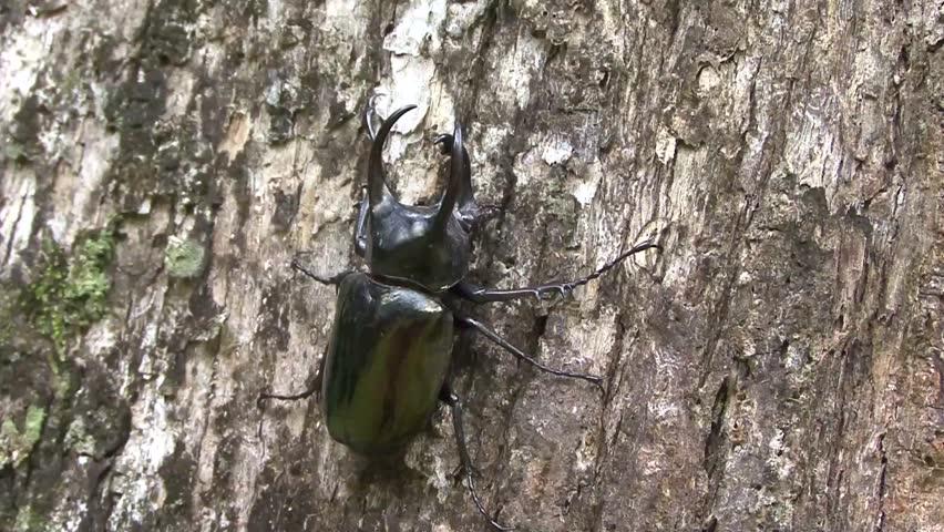Rhinoceros Beetle male sit on big lowland rainforest tree trunk close