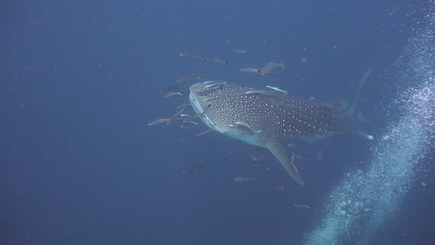 Whale shark swims close to the camera | Shutterstock HD Video #1011396362