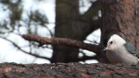 White-breasted Nuthatch Adult Eating in Winter in South Dakota
