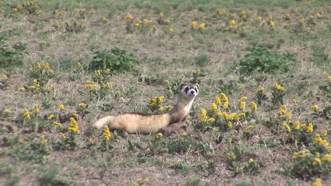 Black-footed Ferret Adult Lone Running in Summer Endangerd Species in South Dakota
