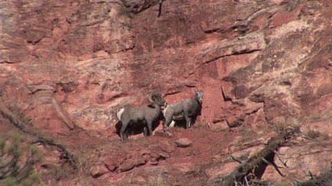 Bighorn Sheep Adult Pair Mating