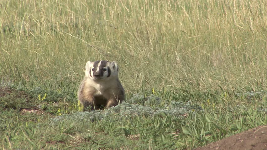 Badger Adult Lone Hunting Foraging in Summer in South Dakota