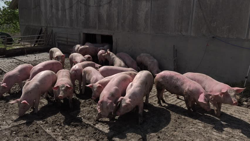 Pig farm with many pigs, Agriculture   Shutterstock HD Video #1011430262