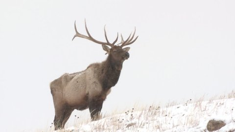 Elk Bull Male Adult Lone Standing in Winter in South Dakota