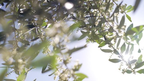 Stunning shot of the flowers of an olive tree in the backlit. Branch of a blooming olive tree with a bud of whitish flowers in spring or summer in Italy.