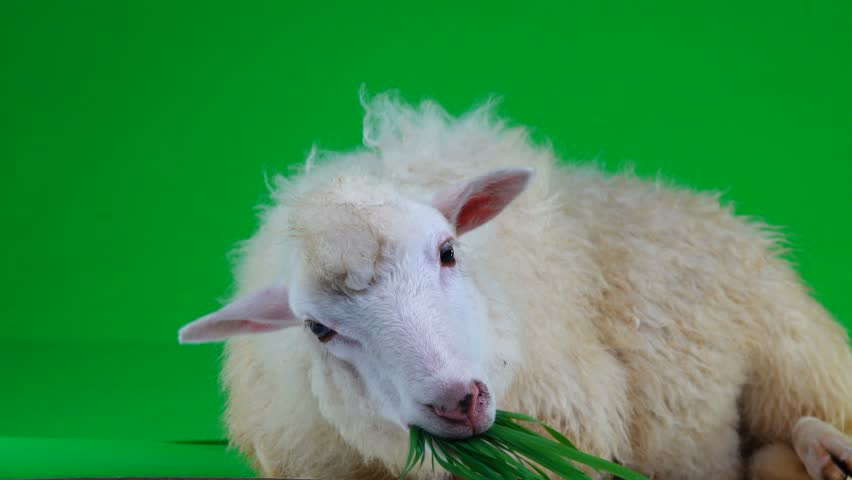 sheep lies and chews the grass on the green screen   Shutterstock HD Video #1011465482