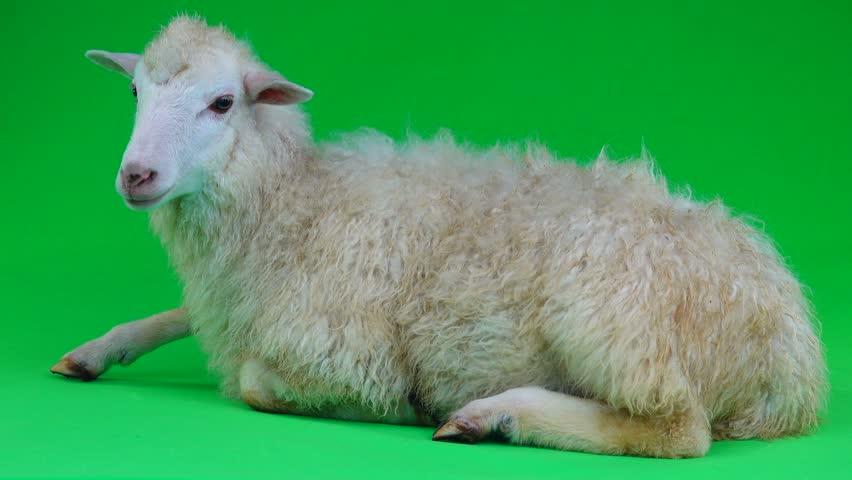 A sheep lies on a green screen   Shutterstock HD Video #1011465602