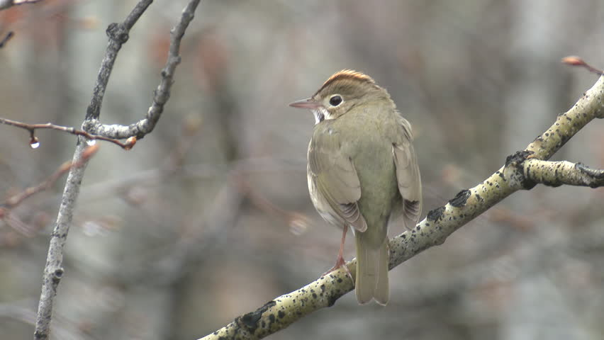 Ovenbird Male Adult Lone Calling Singing Song in Spring in South Dakota