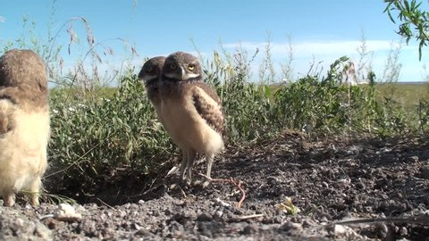 Burrowing Owl Chick Young Brood Curious Inquisitive in Summer Hole Burrow Cocked Head Turned Funny Humor in South Dakota
