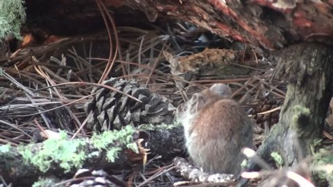 Red-backed Vole Adult Lone Foraging in Summer Log in South Dakota