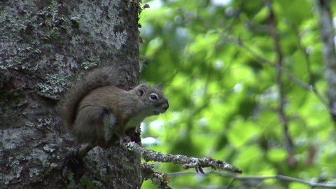 Red Squirrel Adult Lone Calling Chattering in Summer in Alaska
